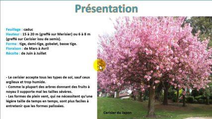 Comment tailler les cerisiers ?