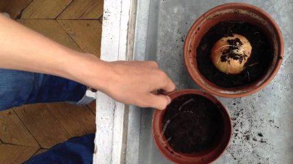 Comment faire pousser un oignon